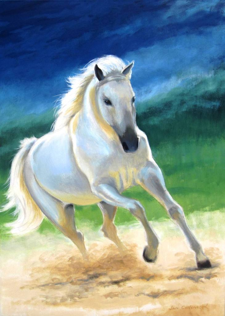 White Arab stallion cantering.